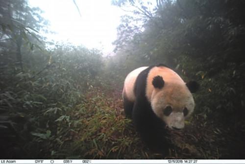 马边大风顶再现野生大熊猫和小熊猫 神态超萌[乐山新闻网,三江都市报3